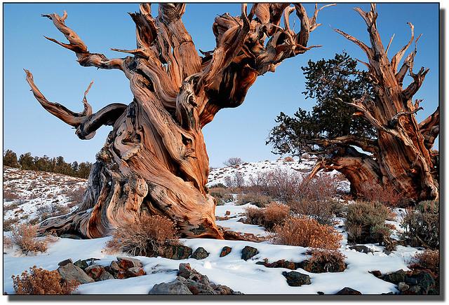 pino-longevo-california
