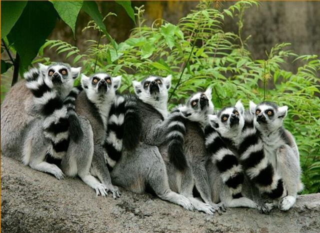 Lemures legendarios de Madagascar Latino Por Mega